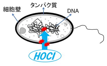 微酸性電解水のHOClによる除菌モデル図