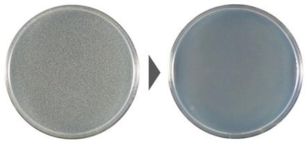 黄色ブドウ球菌の除菌効果試験結果の写真