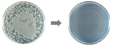 微酸性電解水噴霧前後の黄色ブドウ球菌